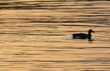 duck-185014_1280